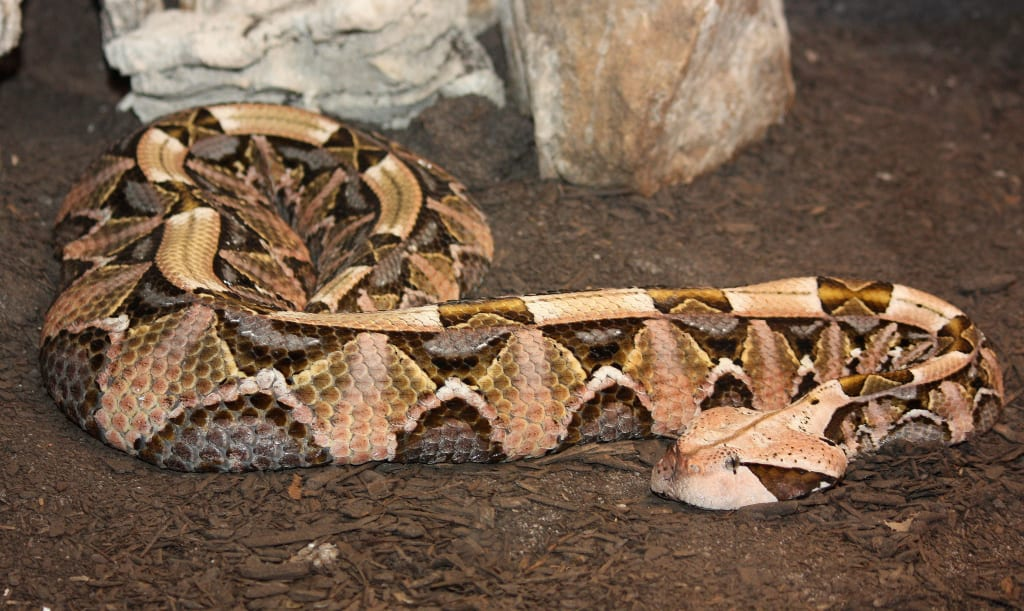 Top 10 Gaboon Viper Facts