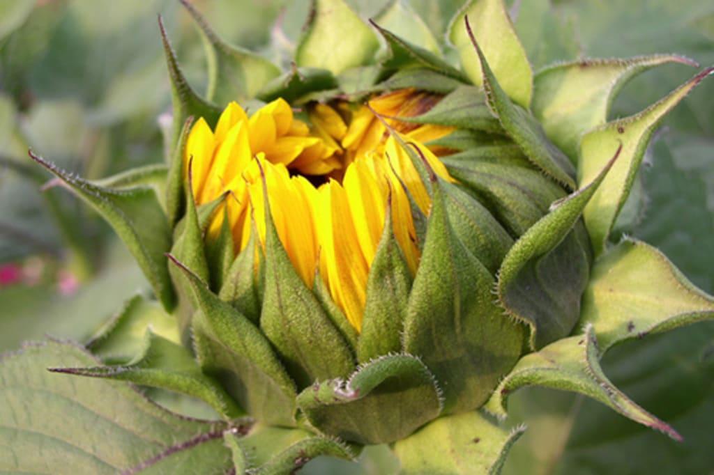 A Budding Flower