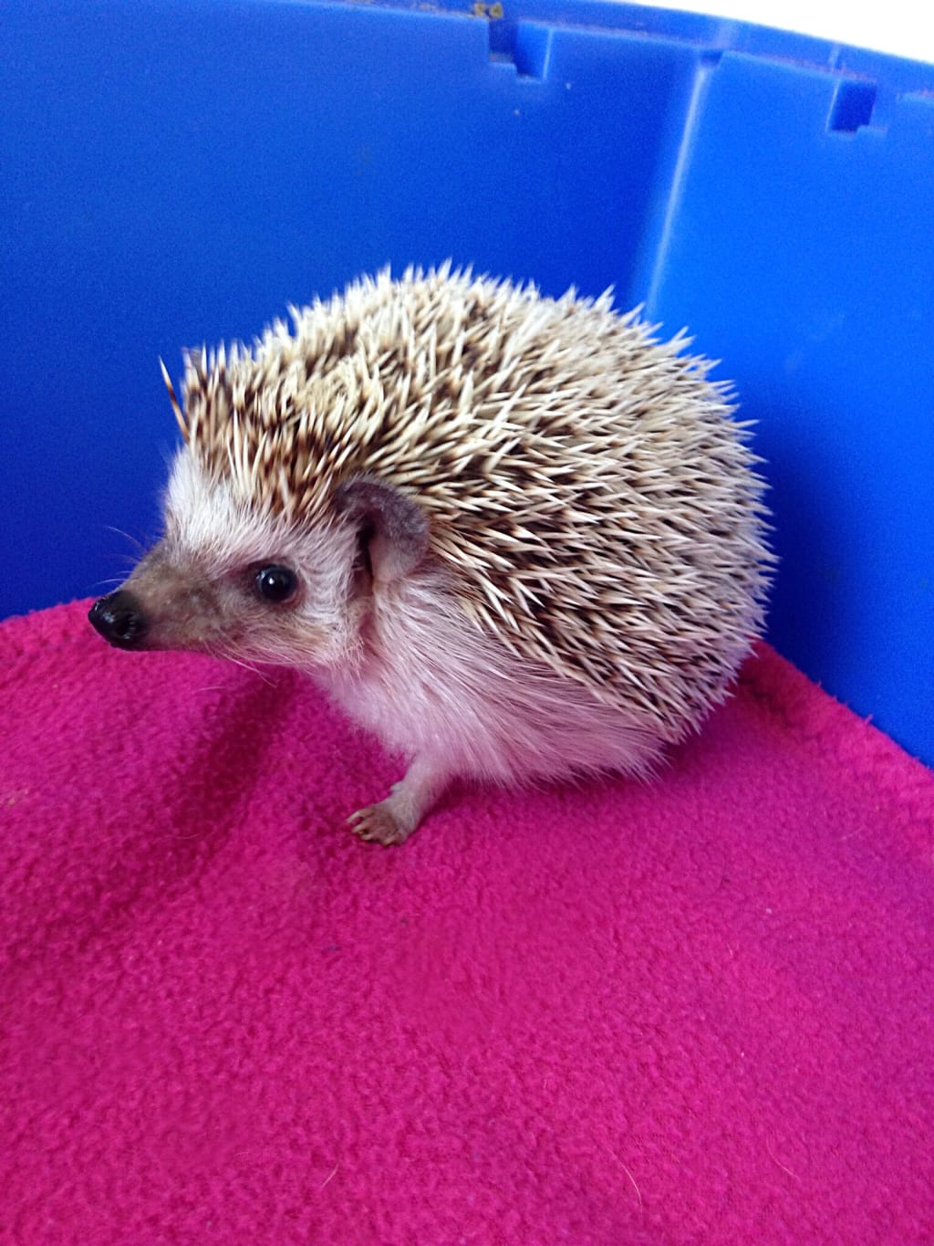 What to Know About Pygmy Hedgehogs