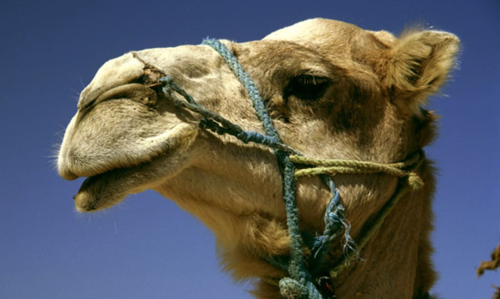 No! It Doesn't Taste Like Chicken —Camel Meat—Fit For A Sultan's Feast