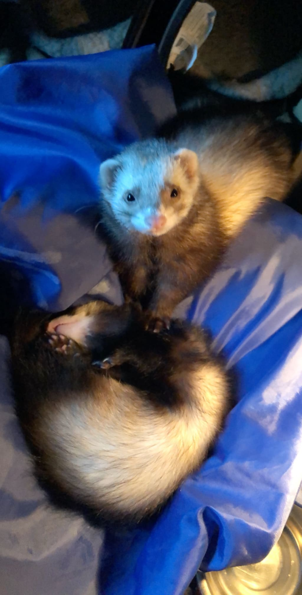 Ferrets Are Ridiculous
