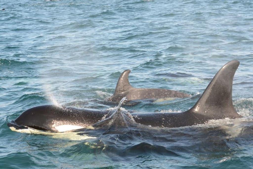 Springer: Conservation's Greatest Rescue Achievement