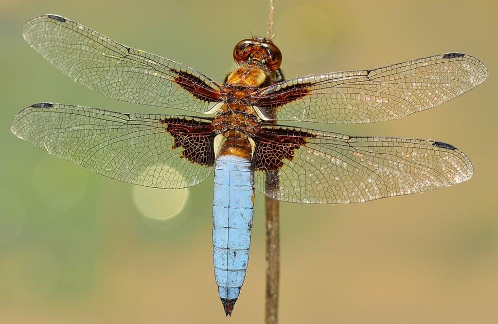 Dragonfly Sonnet