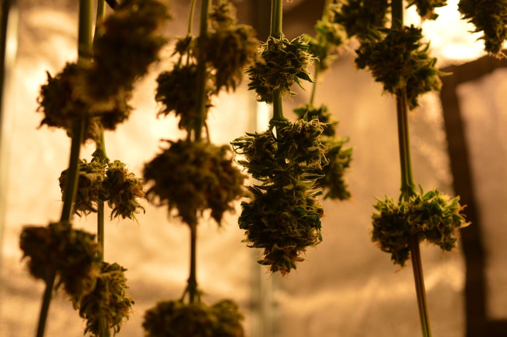 What Is the Best Way to Dry Cannabis?