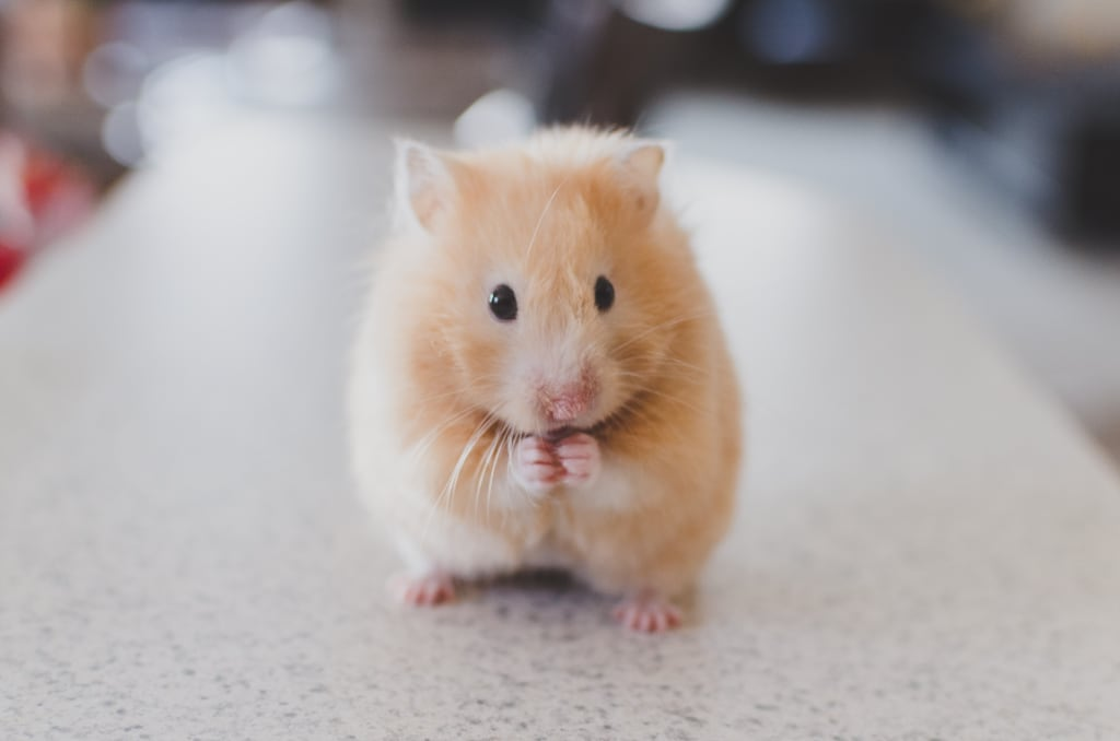 How to Set Up a Hamster Habitat