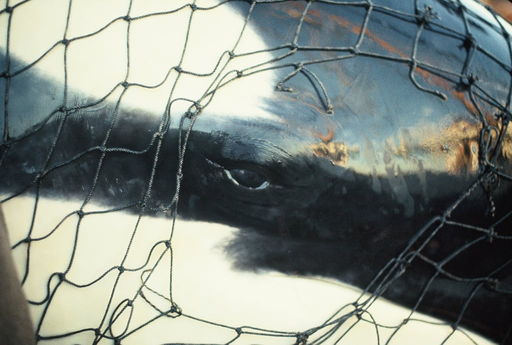 A Puget Sound Orca in Captivity