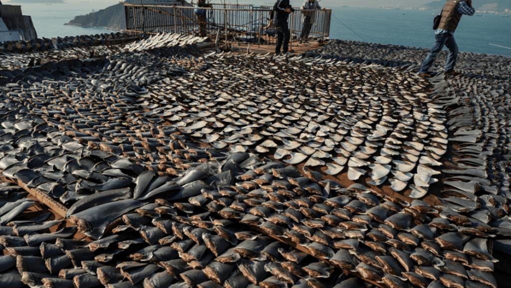 Sharks on the Brink