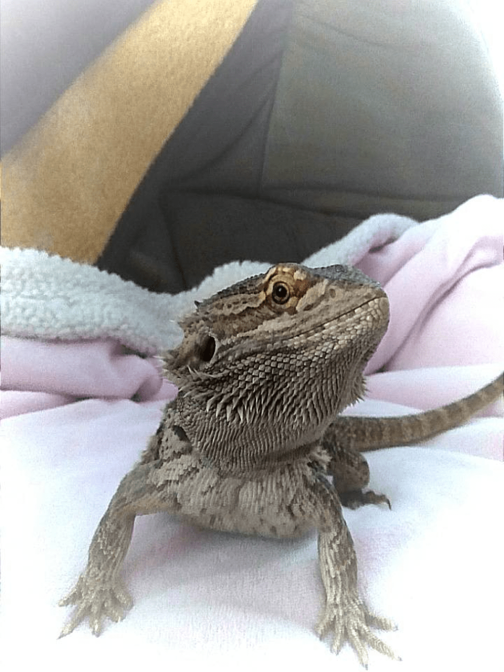 Life of a Bearded Dragon
