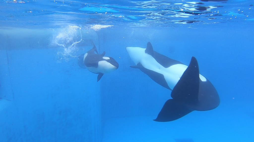 Loro Parque Shares an Update on Ula, Debunks Extremist Claims