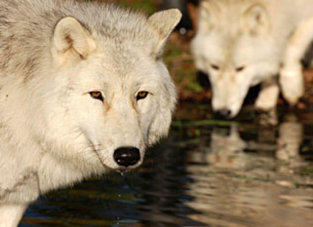 UK Wolf Conservation Trust Closes Its Doors