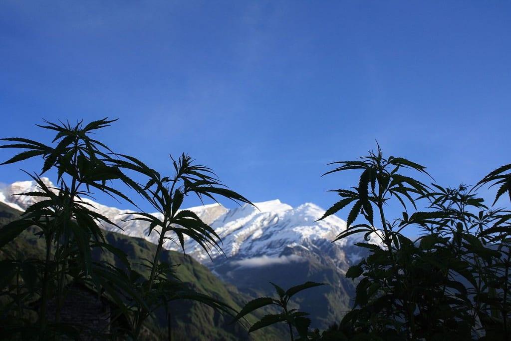 Himalayan Hemp from Nepal