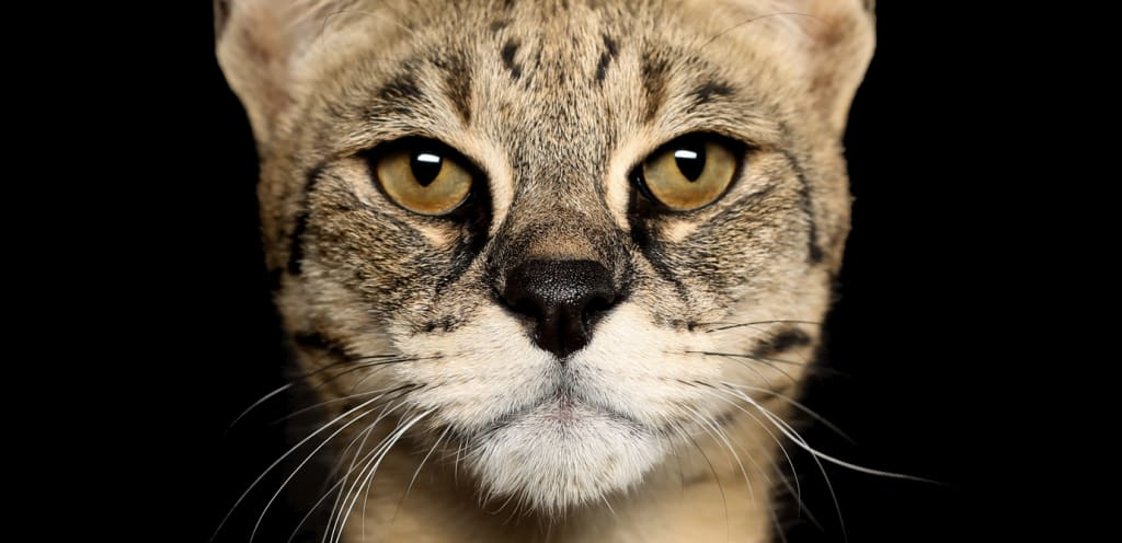 Exotic Cat Breeds