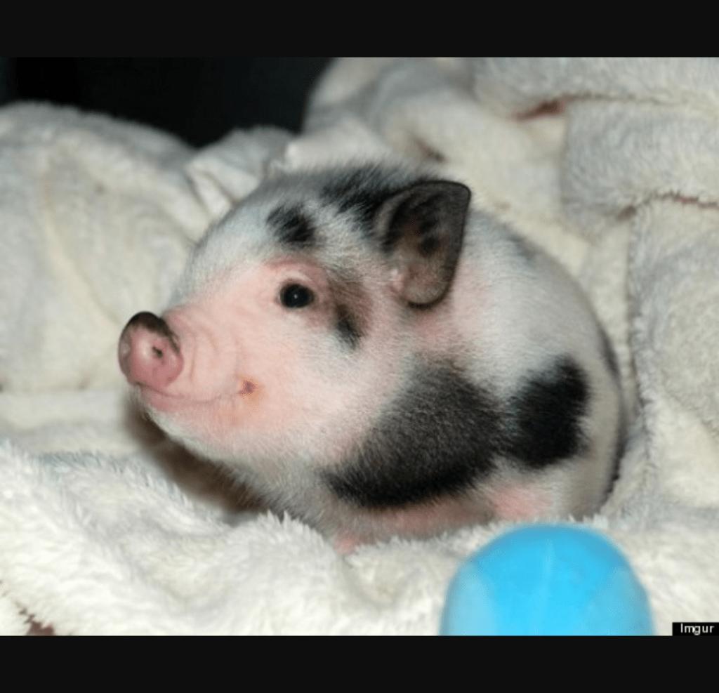 Pot Belly Pigs as a Pet