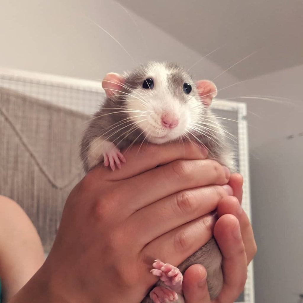 Rats Are the Most Underrated Pet Ever