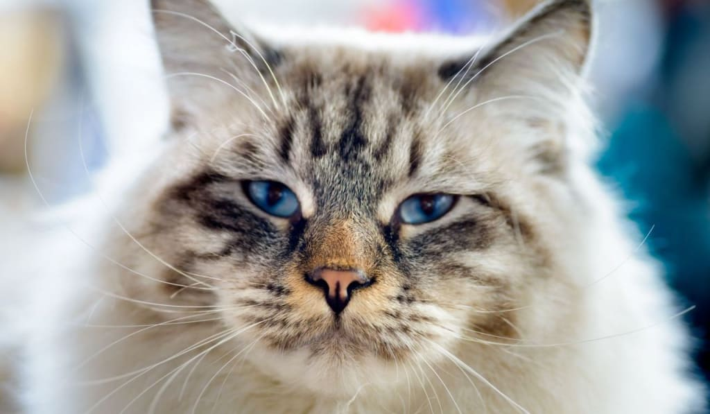 Most Loving Cat Breeds