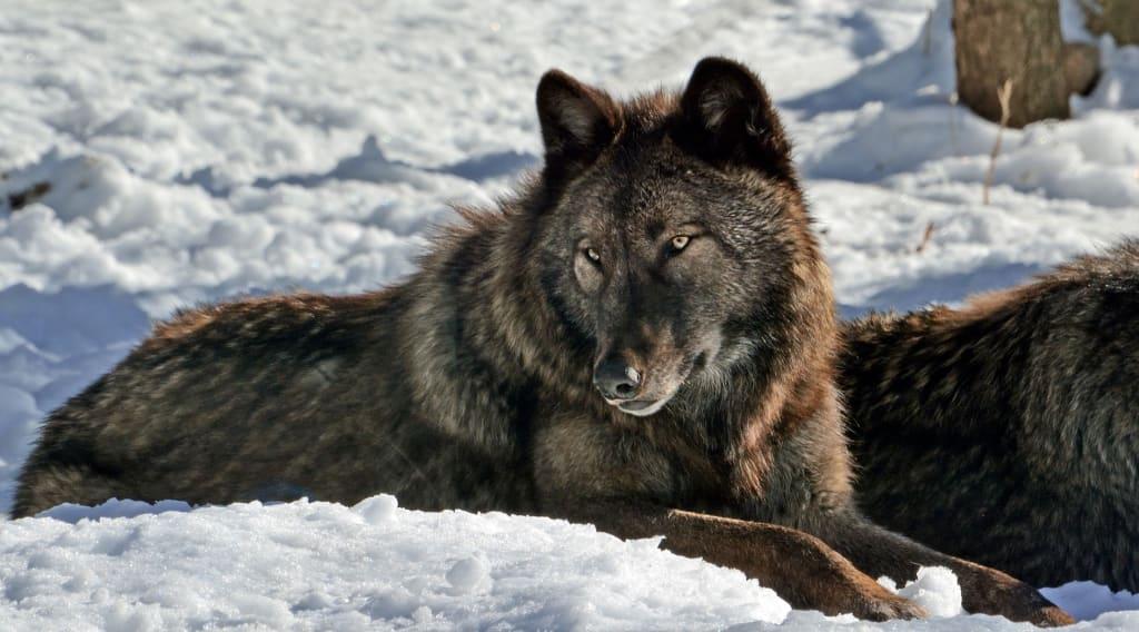 Wolves Are in Danger... Again