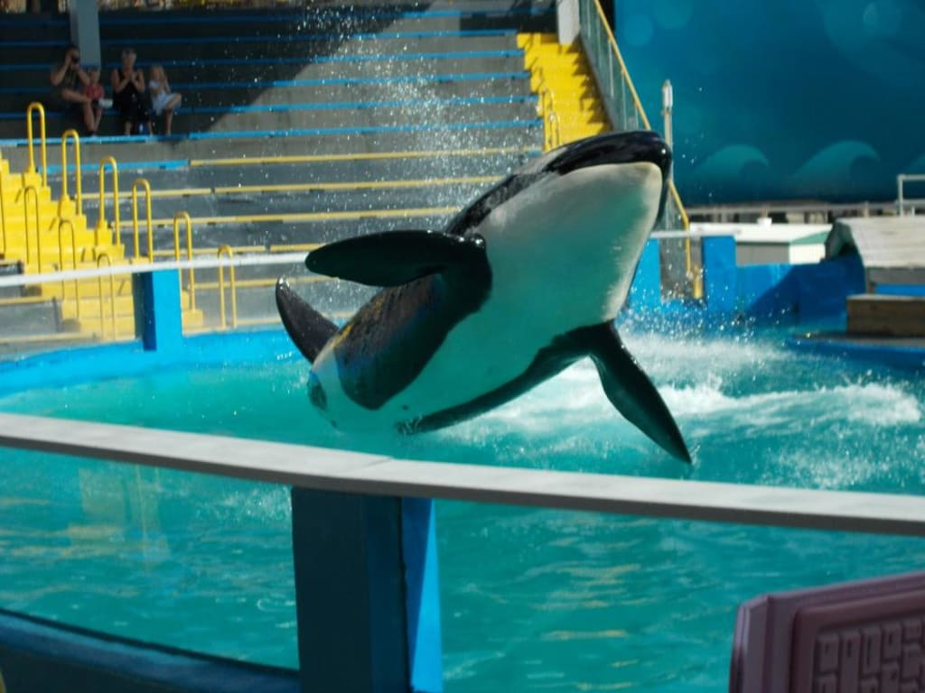 Freeing Lolita the Killer Whale Is Not an Option