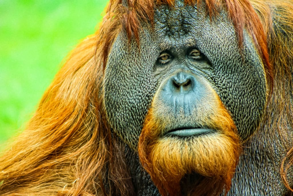Civil War in the Rainforest - Two Primate Groups in the Great Conflict