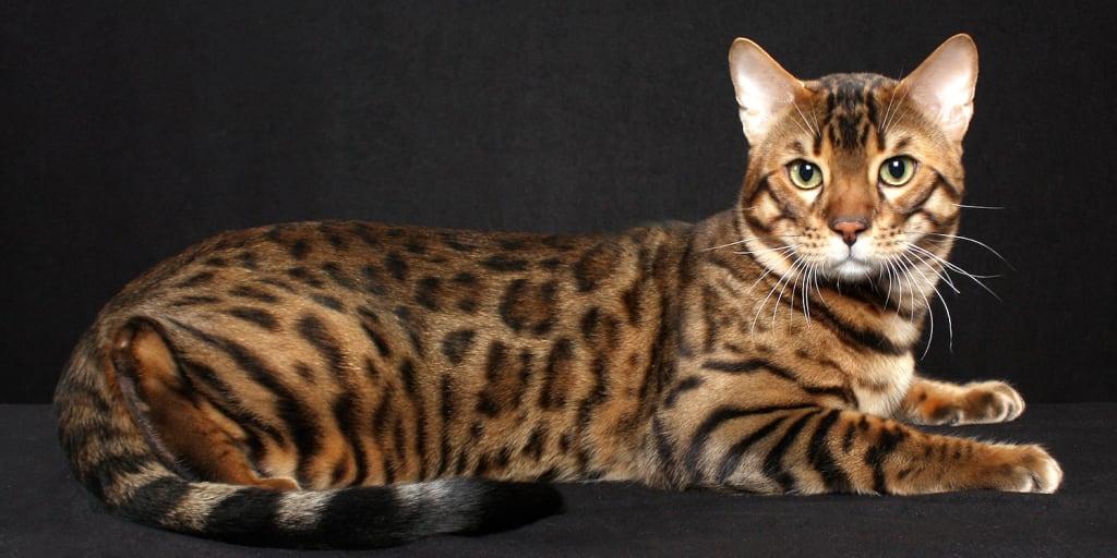 Hypoallergenic Cat Breeds - Is Your Cat Healthy?