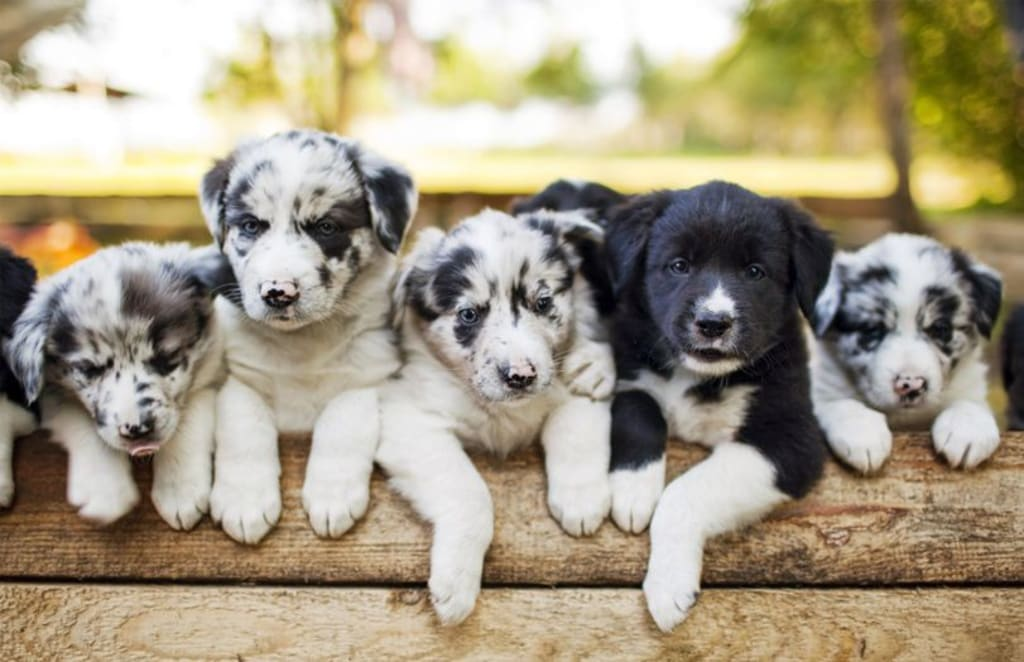 Understanding Genetics for Dog Breeders