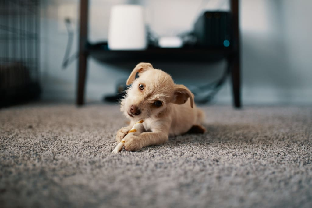 Tips and Tricks to Help You with Pet Odor Removal from Upholstery