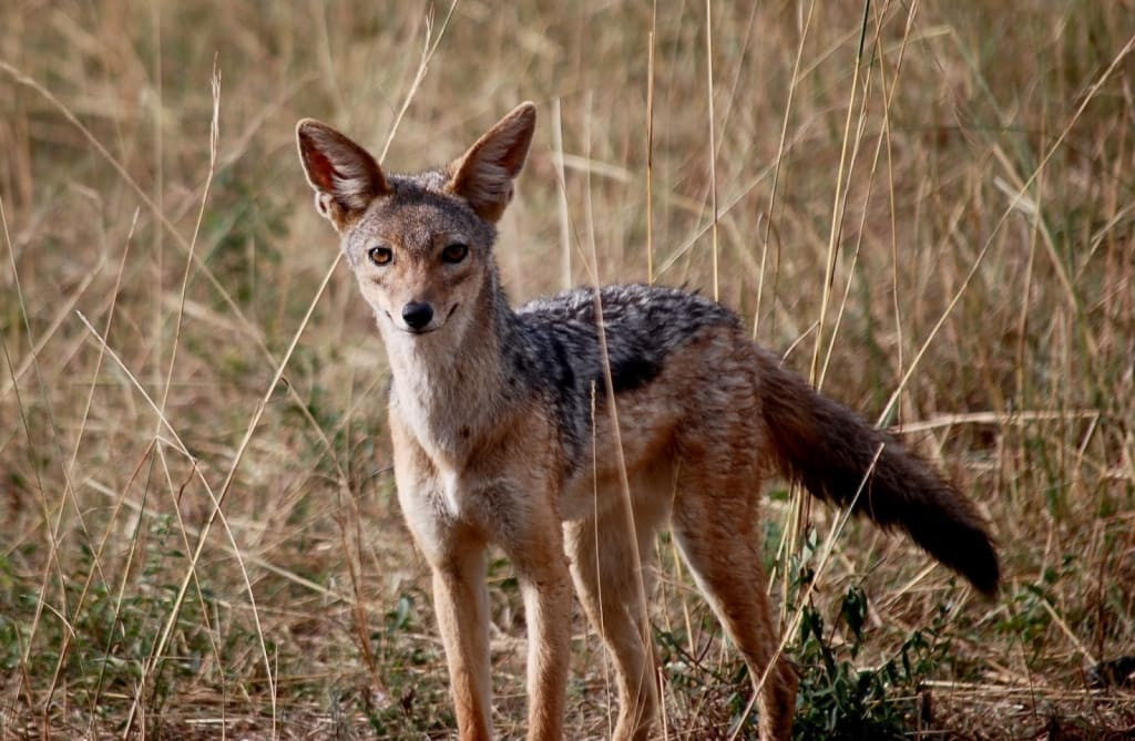 13 Awesome Wild Dog Species You Wish You Could Adopt