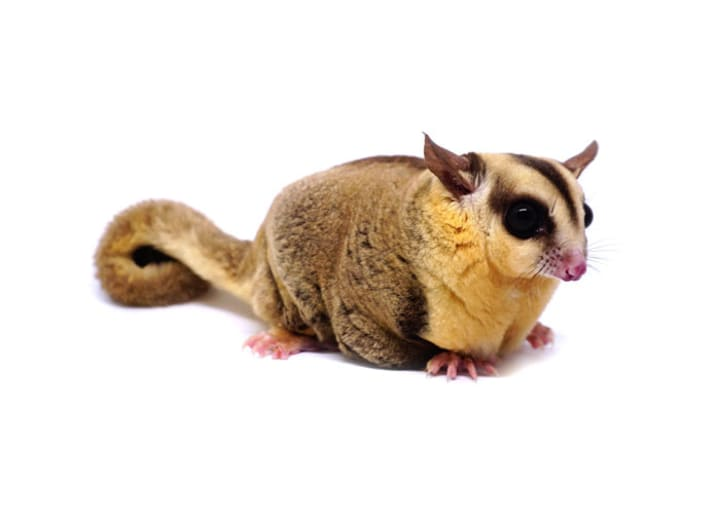 Exotic Pets: What is a Sugar Glider?