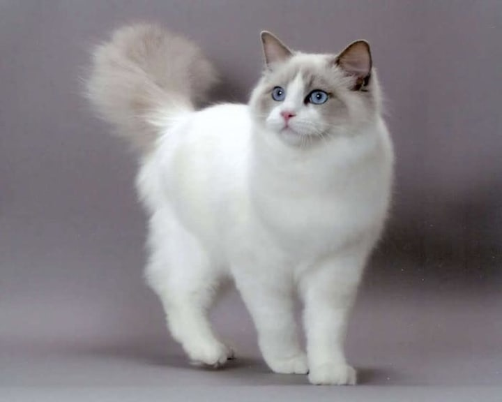 Best Cat Breeds For First Time Owners