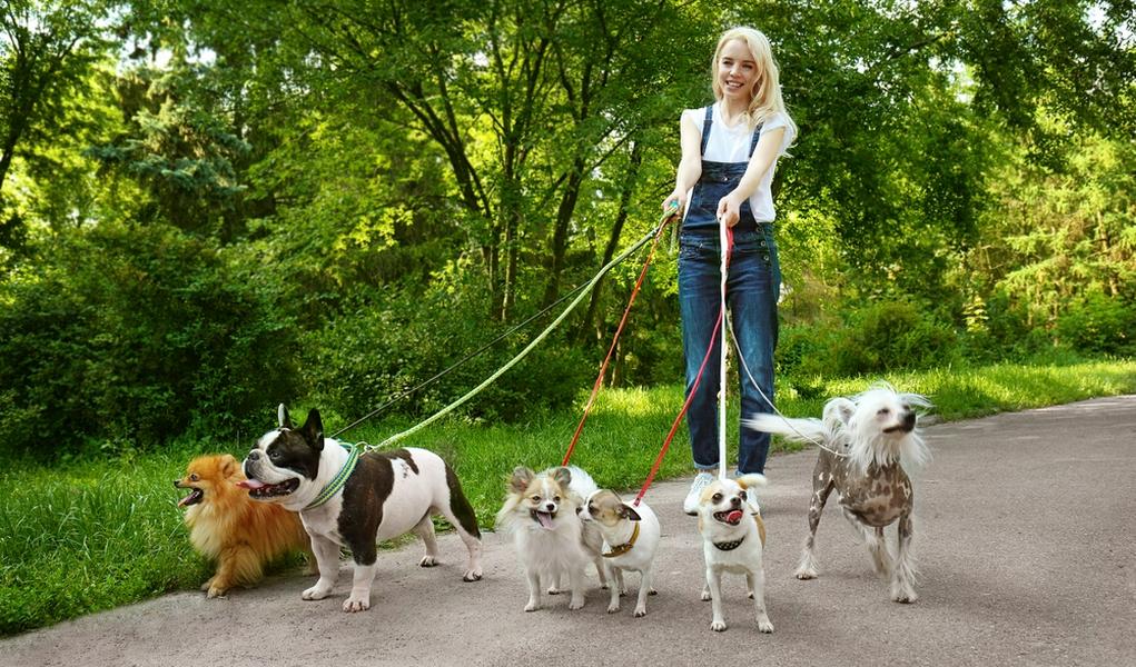 Dắt chó đi dạo - Công việc lương cao phổ biến để tìm việc làm thêm