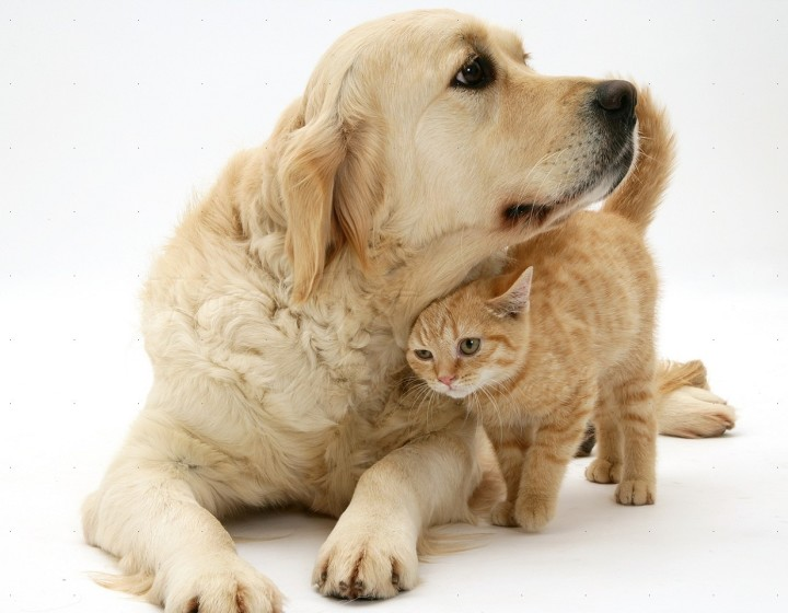 Best Dog Breeds For Families With Cats