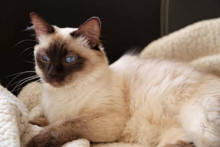 Best Hypoallergenic Cat Breeds