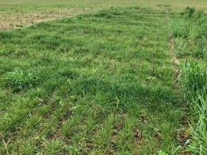 Lowboy annual ryegrass used as a covercrop following cotton