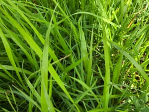 Meroa in the field, Louisiana.