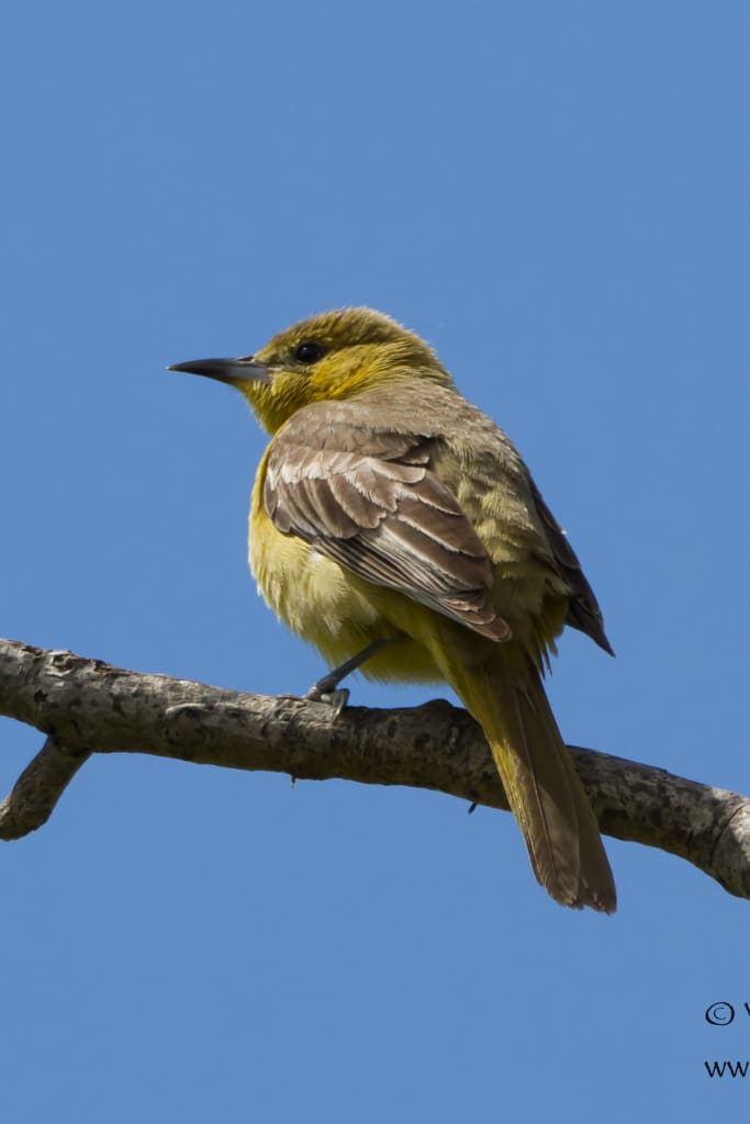 Female Hooded Oriole