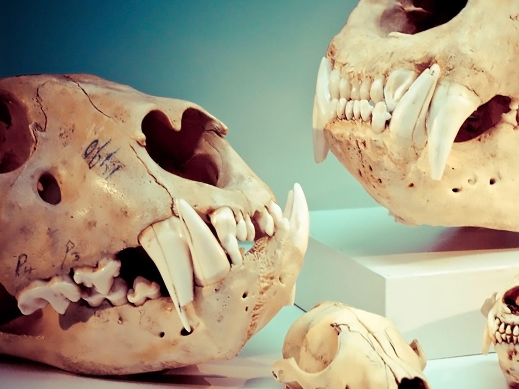 Jis 0216 vancouver skulls beaty museum s5uspz