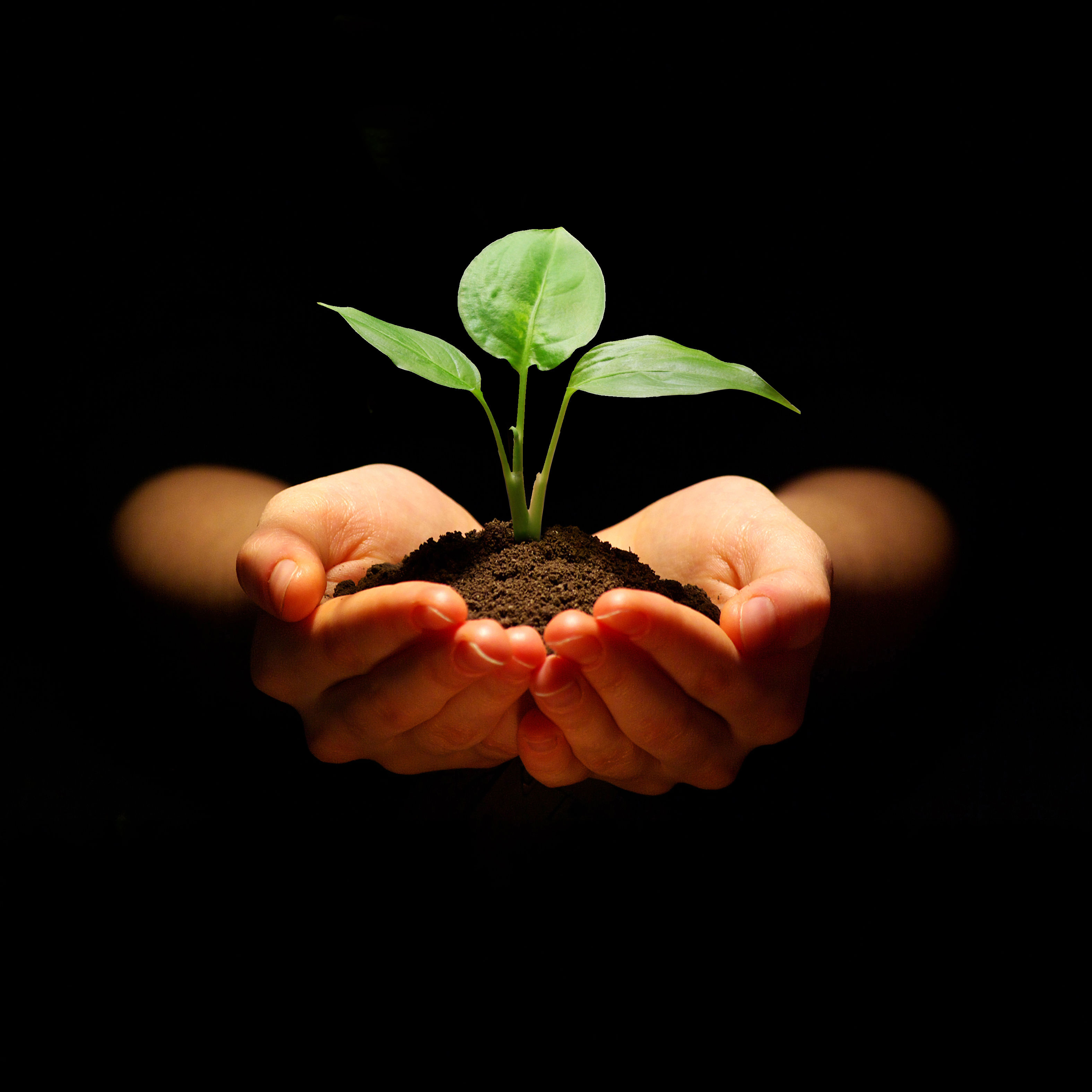 Jis 0616 legacy seedling uvevho