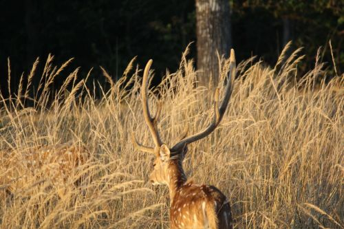 Deer in Golden hours