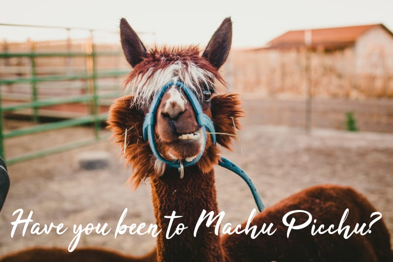 "llama with text overlay saying, ""Have you been to Machu Picchu?"""