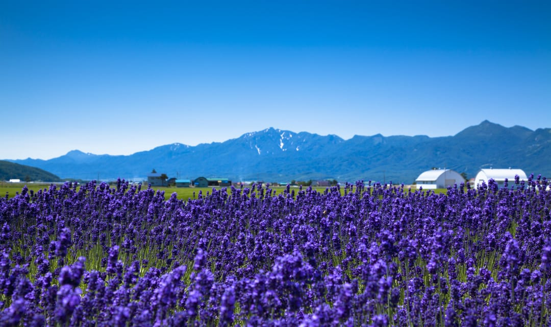 lavender fields in Hokkaido with mountains in background