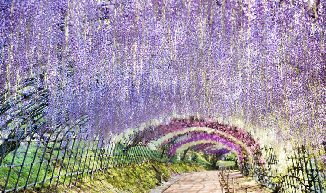 a trellis tunnel covered in purple hanging flowers