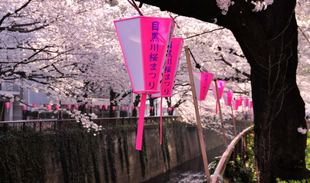 cherry tree overhanging a river with a pink and white lantern hanging from branch