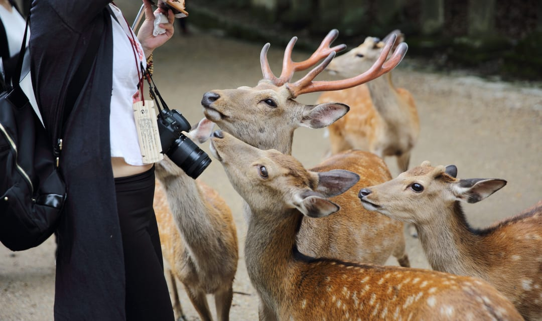 person surrounded by several spotted deer