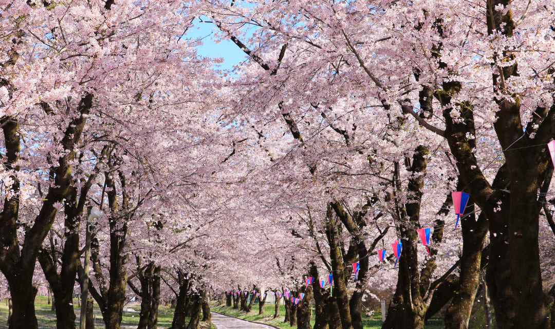 a path lined with pink blossoming trees