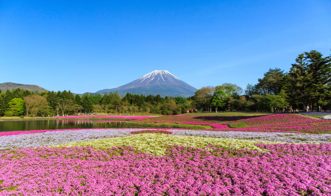 a field of flowers with a snow-capped mountain in the background