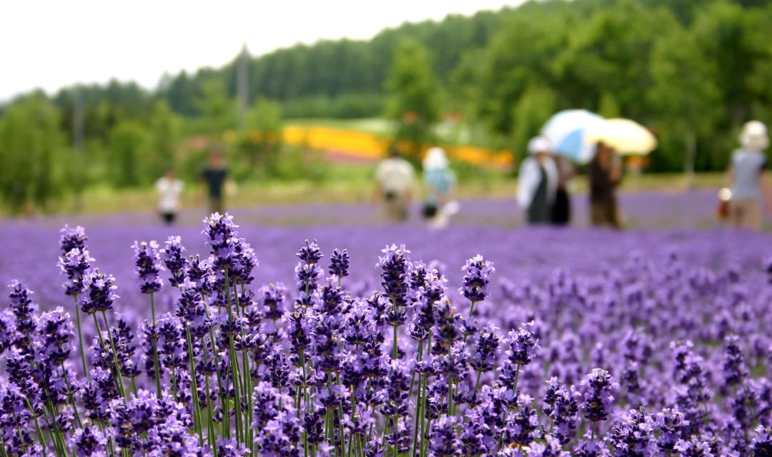 a close up of lavender in a field with blurry people in the background