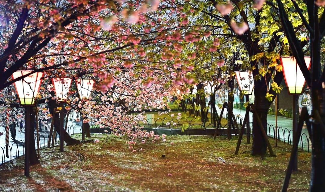 cherry trees at night with lamps nearby