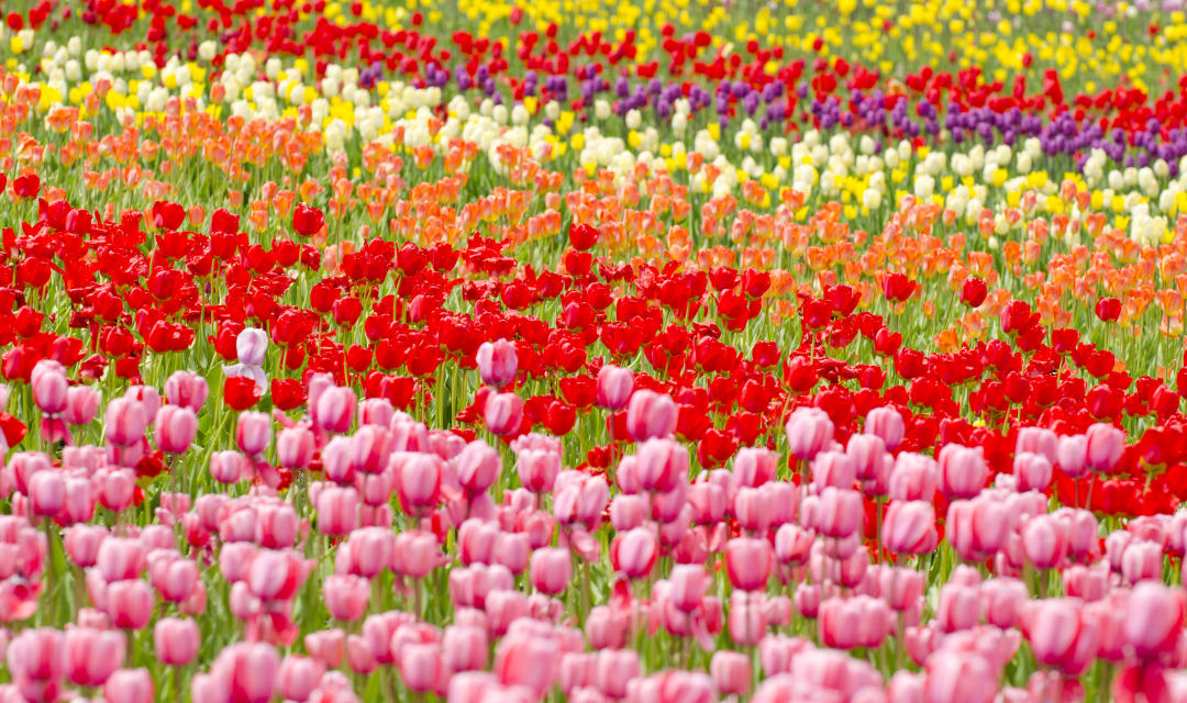 a field of various colors of tulip