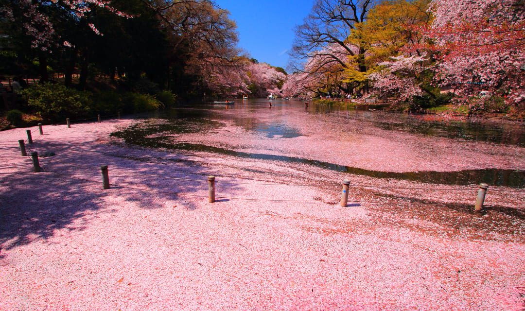 a large pond with a lot of pink flower petals on the surface