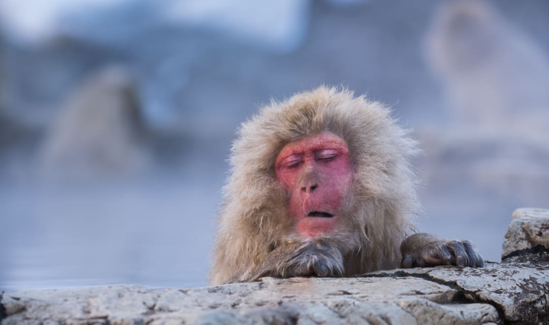 a snow monkey sitting in a steamy onsen