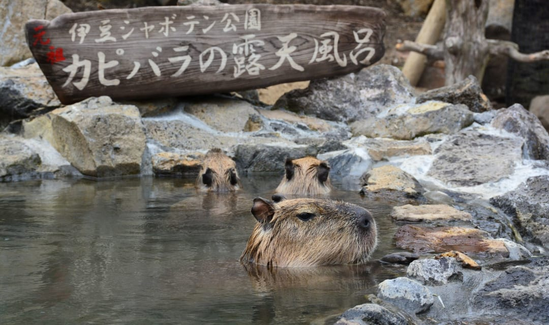 three capybara bathing in water surrounded by rocks